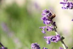 Violett blommacloseup Arkivbilder