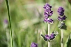 Violett blommacloseup Arkivfoto