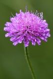 violett blommadispsacacea Arkivfoto