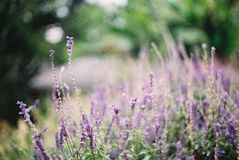 Violett blommafält för suddighet Royaltyfria Foton