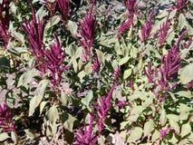 Violett blommande borste Royaltyfria Foton