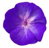 Violett blommapelargon Vit isolerad bakgrund med den snabba banan Closeup inga skuggor Royaltyfri Fotografi