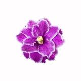 Violett blommaslut upp på vit bakgrund Fotografering för Bildbyråer
