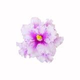 Violett blommaslut upp på vit bakgrund Royaltyfria Foton