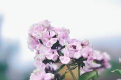 Violett blomning royaltyfria bilder