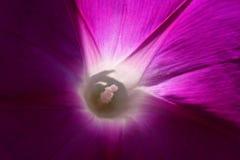 Violett blomning för morgonhärlighet - selektiv fokus på ståndarknapparna royaltyfria bilder