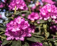 Violett-blomning rhododendron, främre blomningkors, suddigt bakre område avsiktligt arkivfoton
