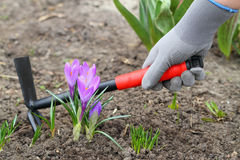 Violett crocuses and with gardening fork Royalty Free Stock Photo