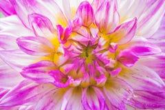 Violett dahlia för närbild i blom i en trädgård Arkivfoton