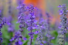 Violett färg för lavendel Fotografering för Bildbyråer