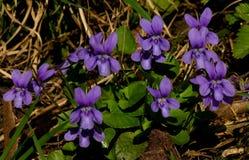 Violett f?r s?tsak p? v?r?ngen royaltyfri bild
