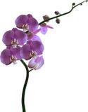 Violett färgorkidéblomning på vit Royaltyfria Bilder