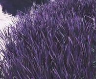 Violett gräs Arkivbild