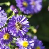 Violett höstaster med biet Arkivbilder