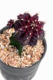 Violett kaktus Fotografering för Bildbyråer