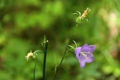 Violett klockformig blomning av den lilla blomman royaltyfria foton