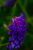 Violett klunga för lilor och av blommor Arkivbilder