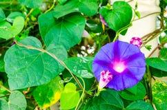 Violett konvolvulusarvensis Fotografering för Bildbyråer