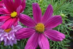 Violett kosmos Royaltyfri Foto