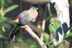Violett-krönad turaco Arkivfoton