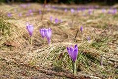 Violett krokus på ängen Royaltyfri Foto