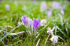 Violett krokus på en grön äng arkivfoton