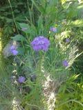 Violett kwiat Zdjęcie Stock