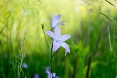 Violett lös blomma på ängen Royaltyfria Bilder