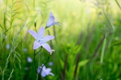 Violett lös blomma på ängen Royaltyfri Fotografi