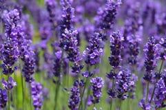 Violett lavendel Arkivfoton