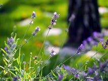 Violett lavendel Royaltyfria Foton