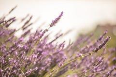 Violett lavendel blommar i blom med suddig bakgrund Arkivbilder