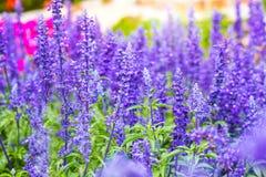 Violett lavendel blommar i fältet i den soliga dagen, lavendelbaksida Fotografering för Bildbyråer