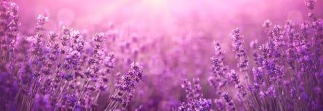 Violett lavendelfält arkivbild