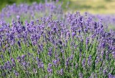 Violett lavendelgrupp Royaltyfri Bild