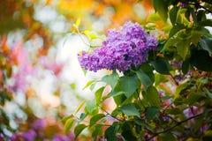 Violett lila på den röda solnedgången Fotografering för Bildbyråer