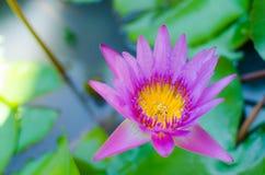 Violett lotusblomma är blommande arkivbild