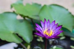 Violett lotusblomma Royaltyfria Bilder