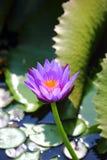 Violett lotusblomma Royaltyfria Foton