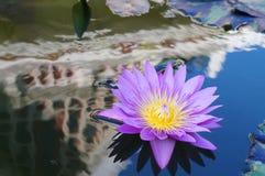 Violett lotusblomma Fotografering för Bildbyråer