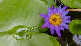 Violett lotusblomma Royaltyfri Fotografi