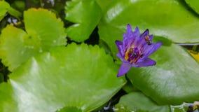 Violett lotusblomma Royaltyfri Bild