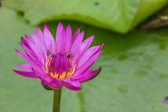 Violett lotusblomma med bladet och vattnet Royaltyfri Bild