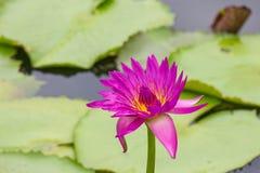 Violett lotusblomma med bladet och vattnet Arkivbild