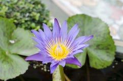 Violett lotusblomma på mittram royaltyfria foton