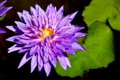 Violett lotusblommablomma Fotografering för Bildbyråer