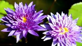 Violett lotusblommablomma Royaltyfria Bilder