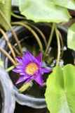 violett lotusblommablomma i tr?dg?rd arkivfoto