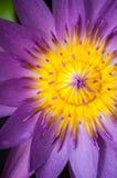 Violett lotusblommanärbild Arkivbilder