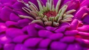 Violett makro av den trädgårds- blomman Arkivbild
